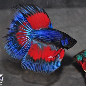 Betta_HM_3Band_Butterfly - Poissons d'eau douce - Neptunea SA
